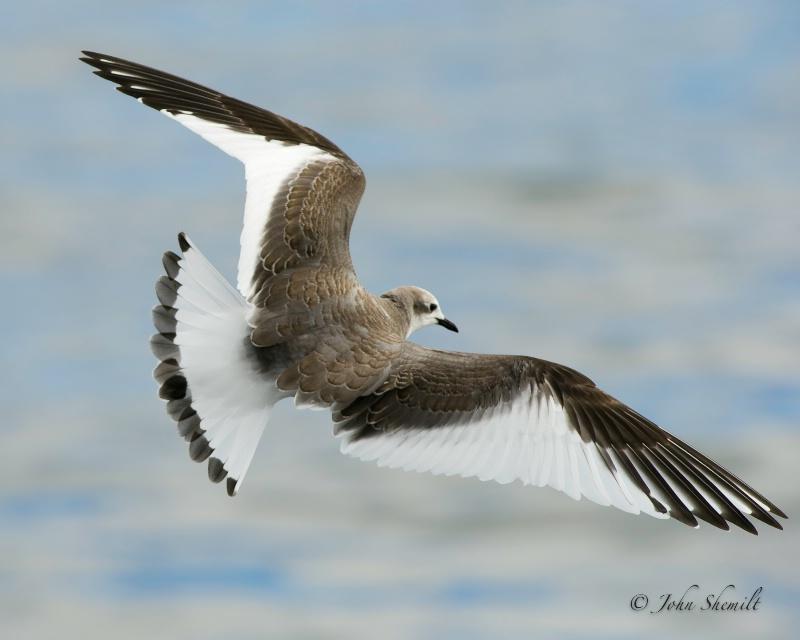 Sabine's Gull - Oct. 1st, 2011