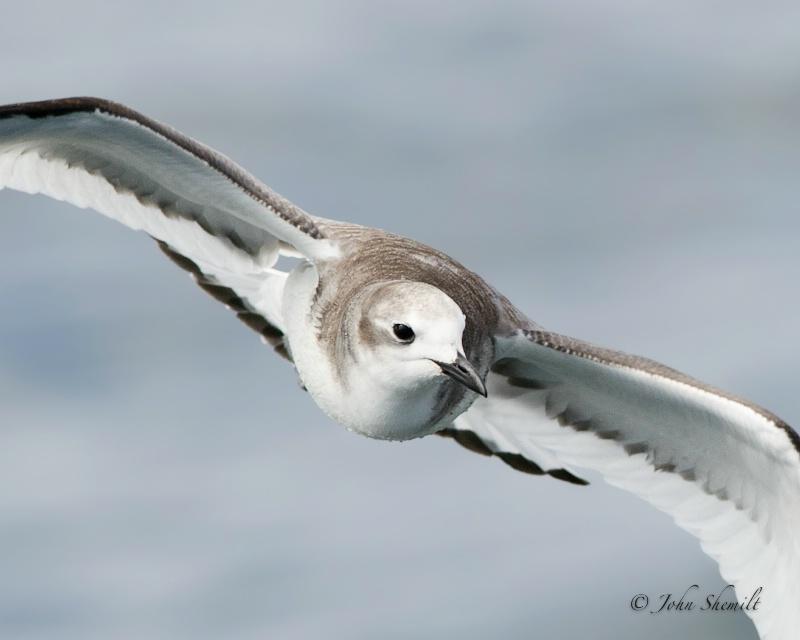 Sabine's Gull - Oct 1st, 2011