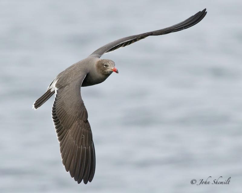 Heerman's Gull - Oct. 1st, 2011