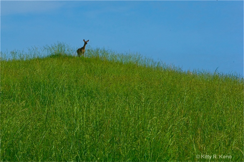 deer on the hill