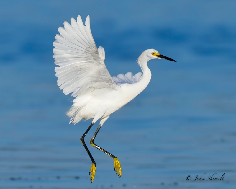 Snowy Egret - July 27th, 2011