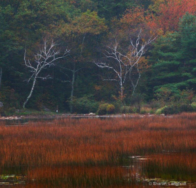 Birches on the Tarn