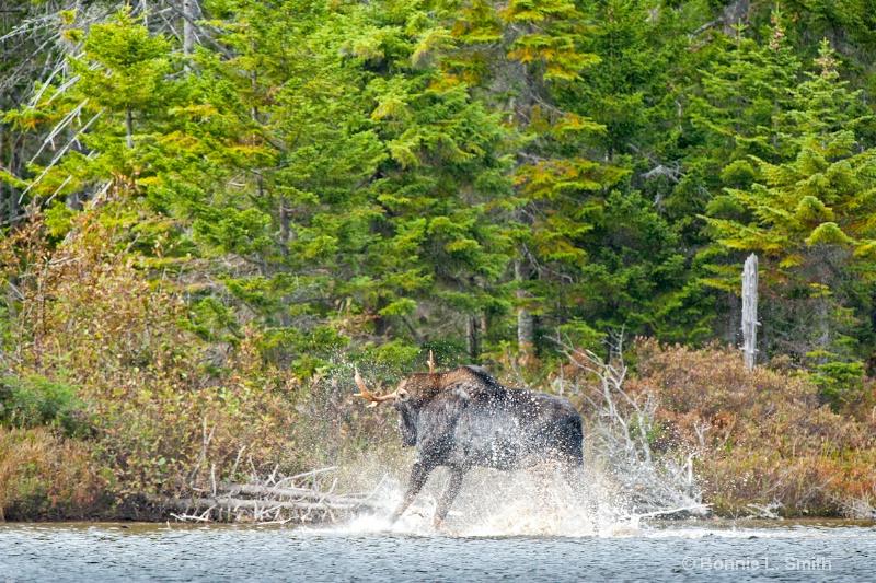 Moose Play