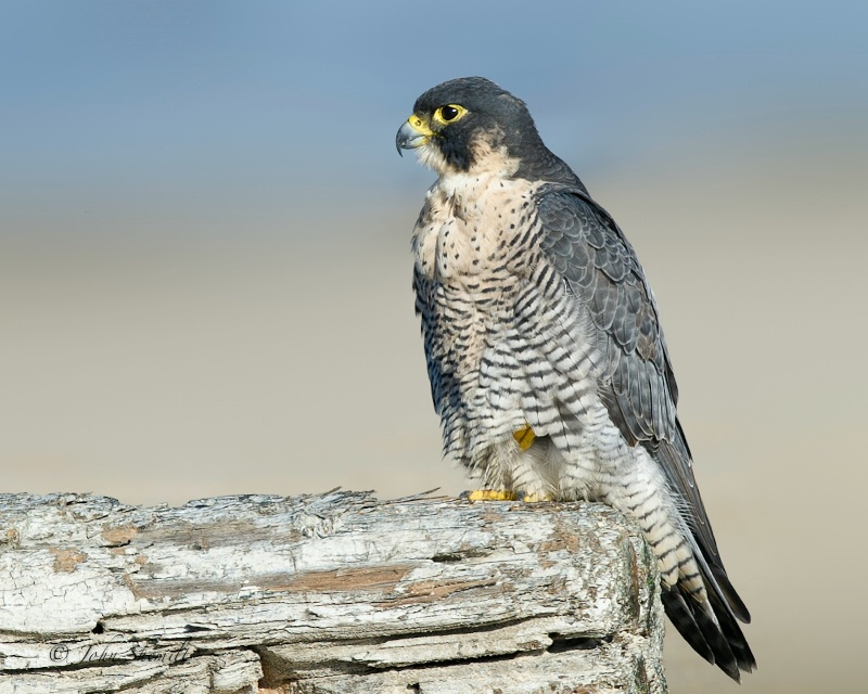 Peregrine Falcon - Oct 22nd 2011