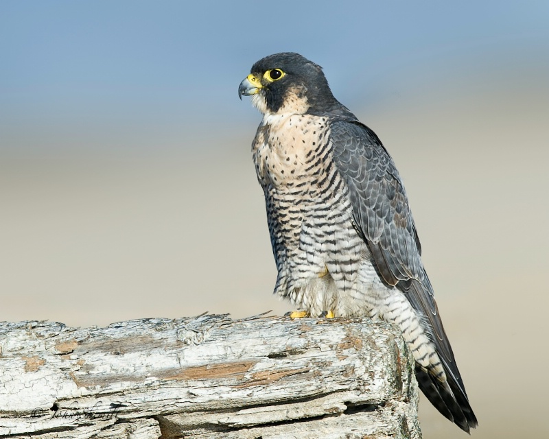 Peregrine Falcon - Oct. 22nd 2011