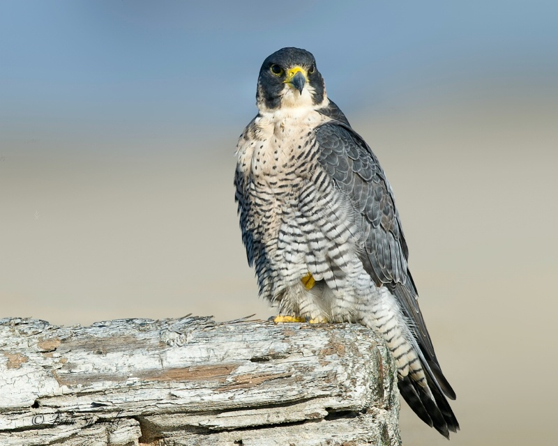 Peregrine Falcon - Oct. 22nd, 2011