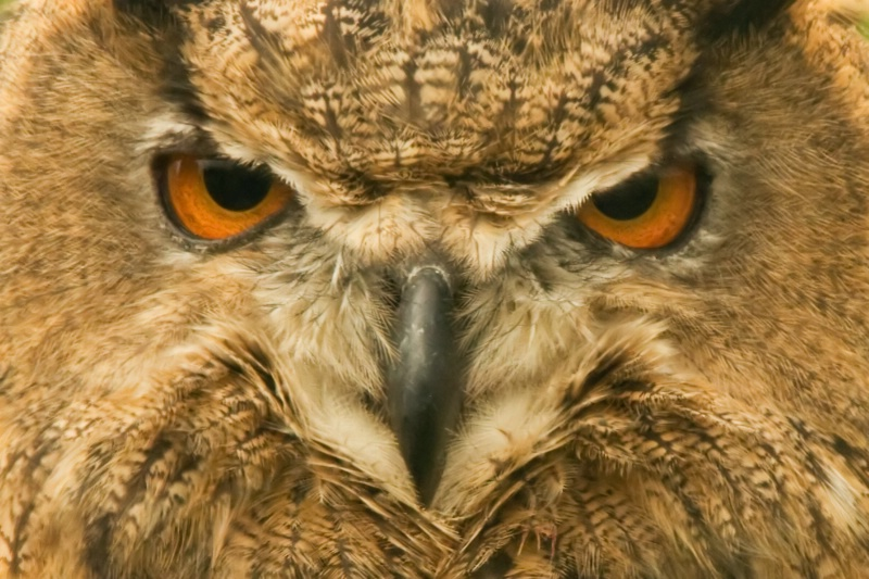 Eagle Owl close up