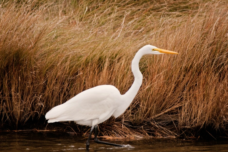 Chincoteague Egret