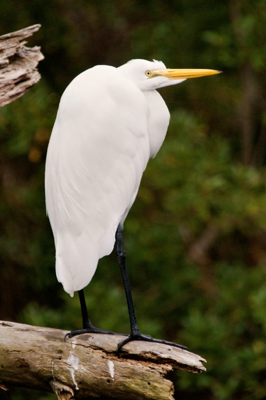 Egret on Tree Stump