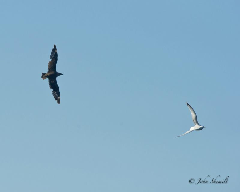 Skua chasing Herring Gull_3 - Nov 6th, 2011