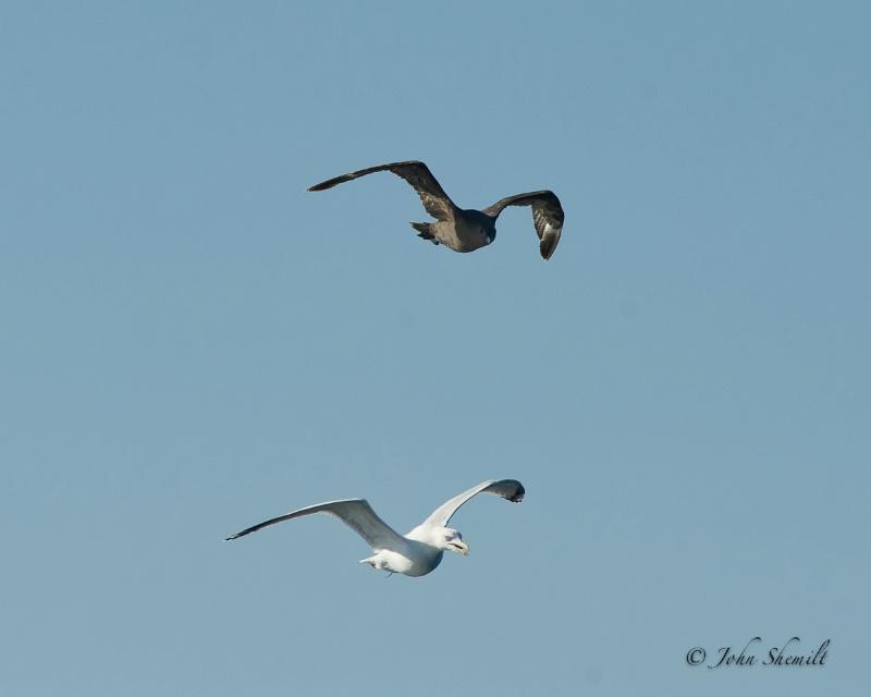 Skua chasing Herring Gull_7 - Nov 6th, 2011