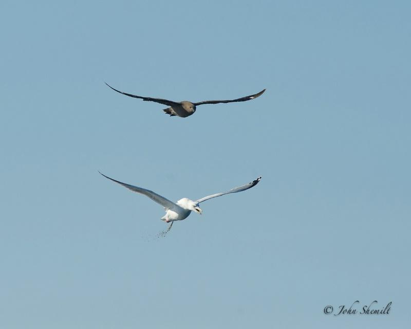 Skua chasing Herring Gull_8 - Nov 6th, 2011