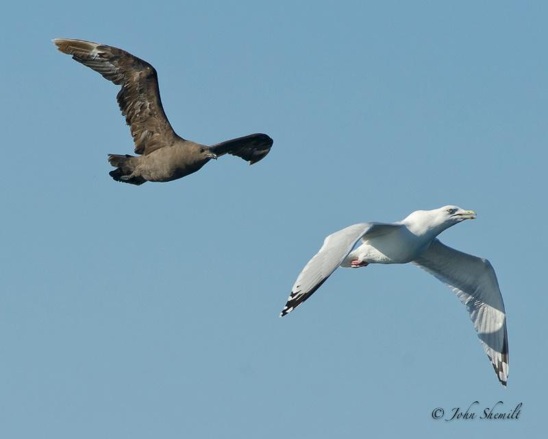 Skua chasing Herring Gull_10 - Nov 6th, 2011