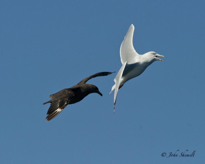 Skua chasing Herring Gull_14 - Nov 6th, 2011