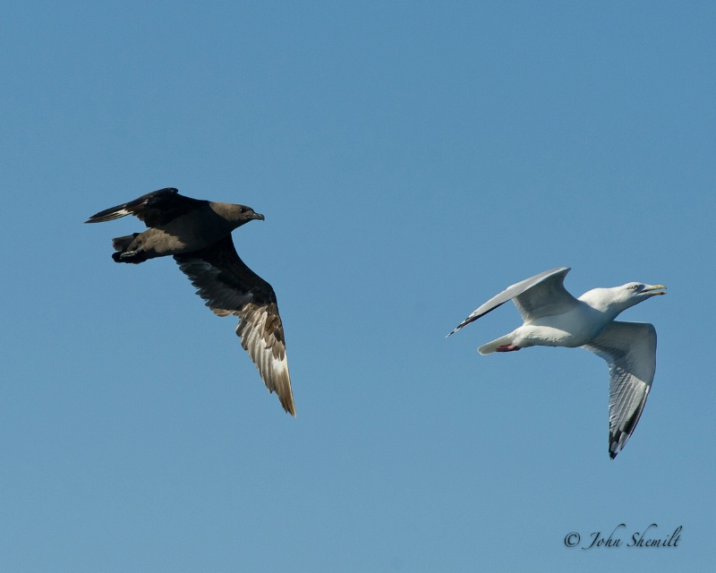 Skua chasing Herring Gull_12 - Nov 6th, 2011
