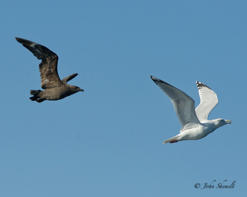 Skua chasing Herring Gull_13 - Nov 6th, 2011