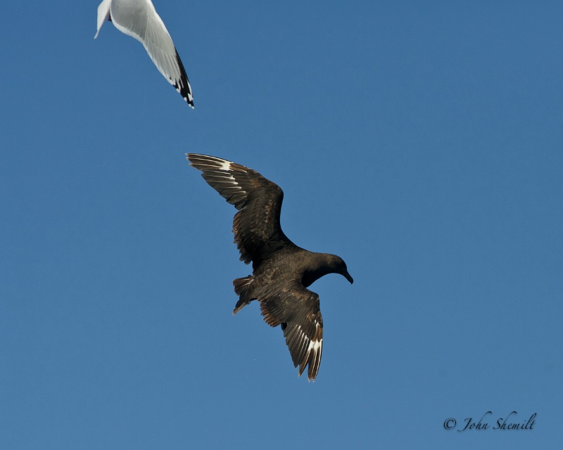 Skua chasing Herring Gull_17 - Nov 6th, 2011