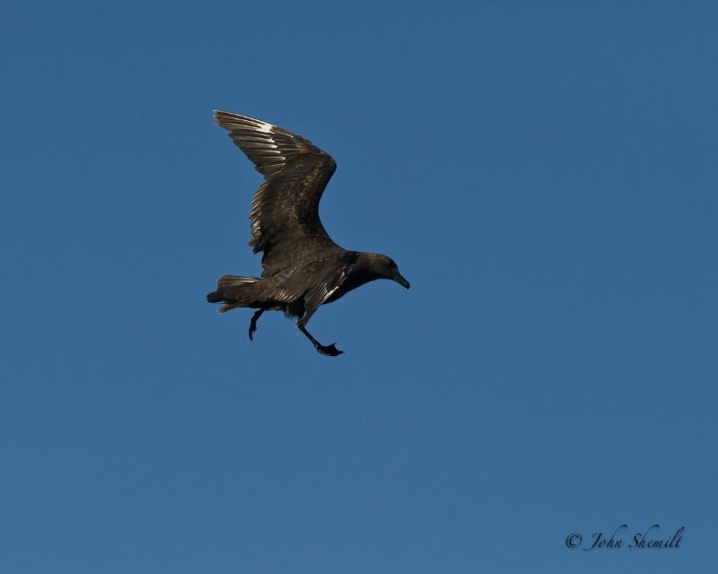 Skua chasing Herring Gull_18 - Nov 6th, 2011