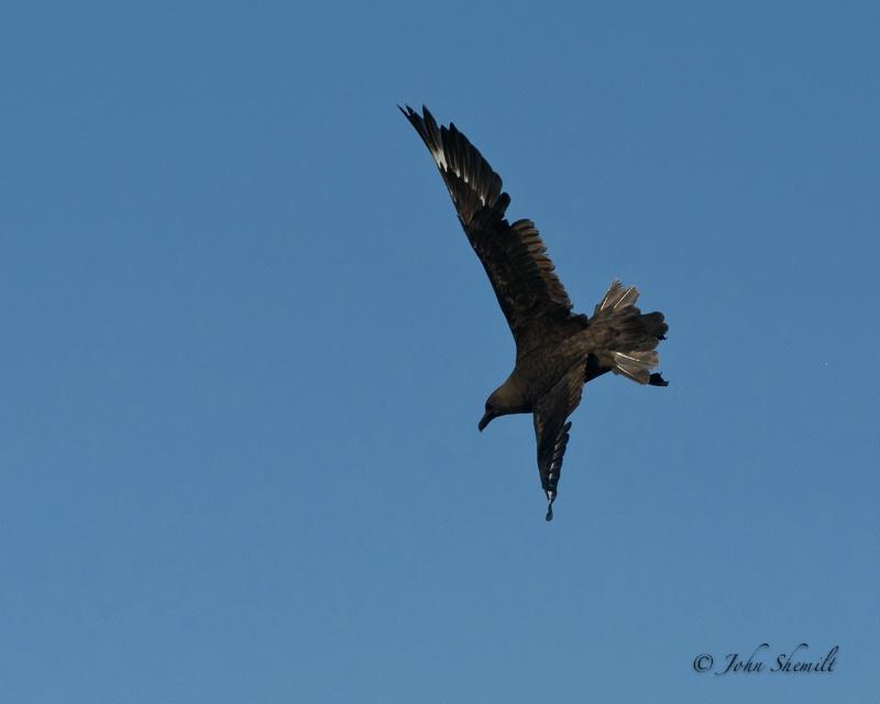 Skua chasing Herring Gull_19 - Nov 6th, 2011