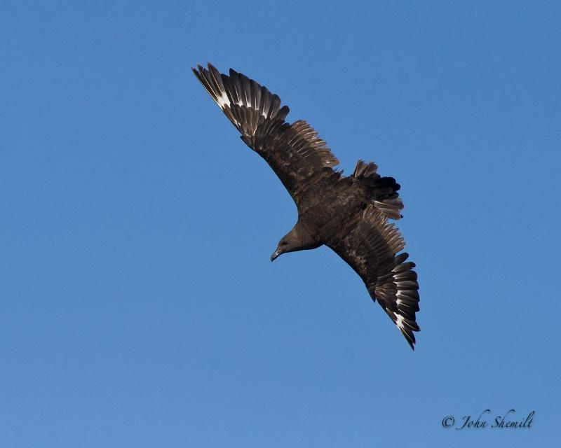 Skua chasing Herring Gull_21 - Nov 6th, 2011
