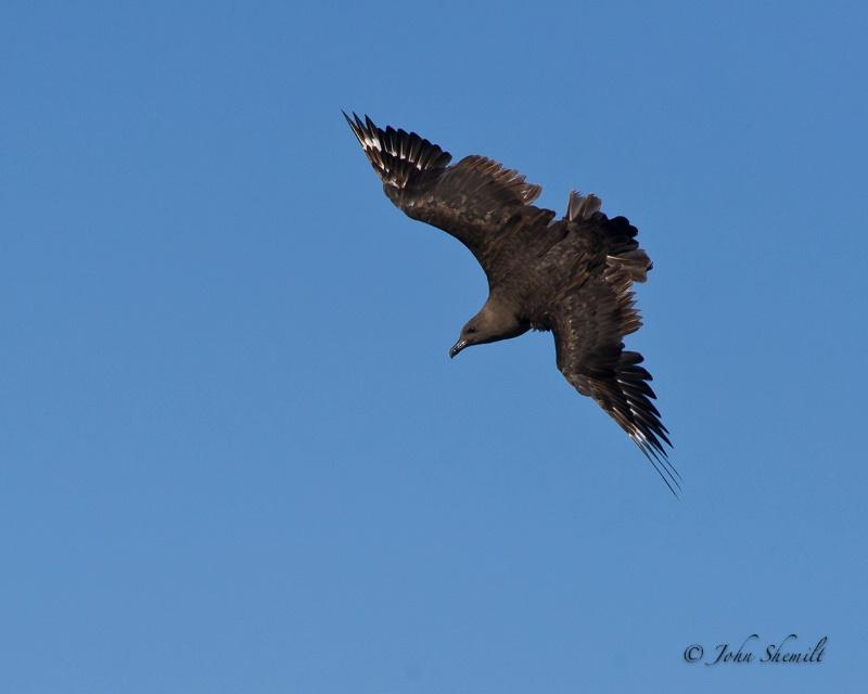 Skua chasing Herring Gull_22 - Nov 6th, 2011