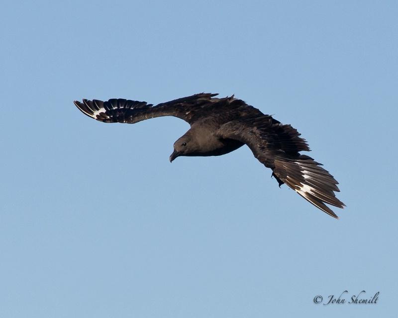 Skua chasing Herring Gull_23 - Nov 6th, 2011