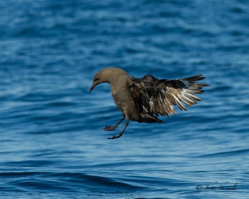 Skua chasing Herring Gull_24 - Nov 6th, 2011