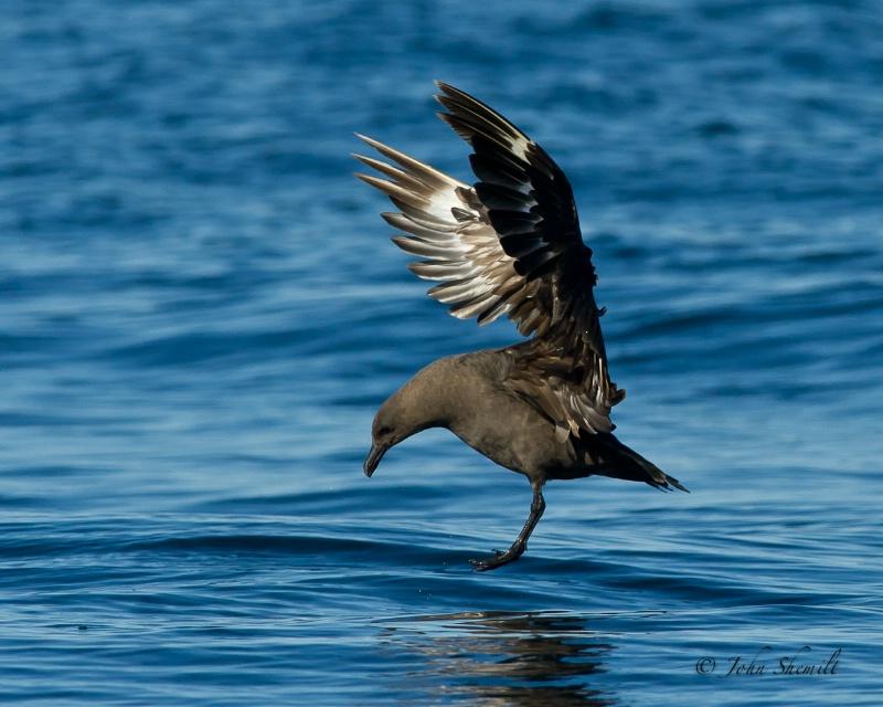 Skua chasing Herring Gull_25 - Nov 6th, 2011