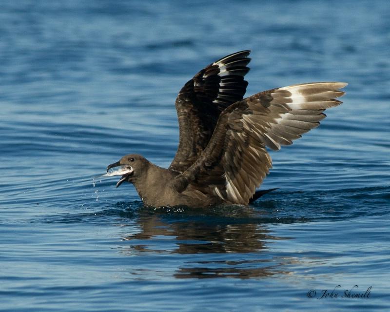 Skua chasing Herring Gull_27 - Nov 6th, 2011