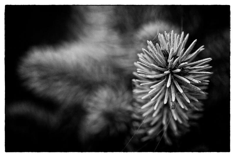 Spruce in B&W