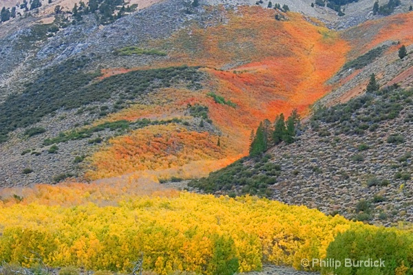 Flaming Aspen
