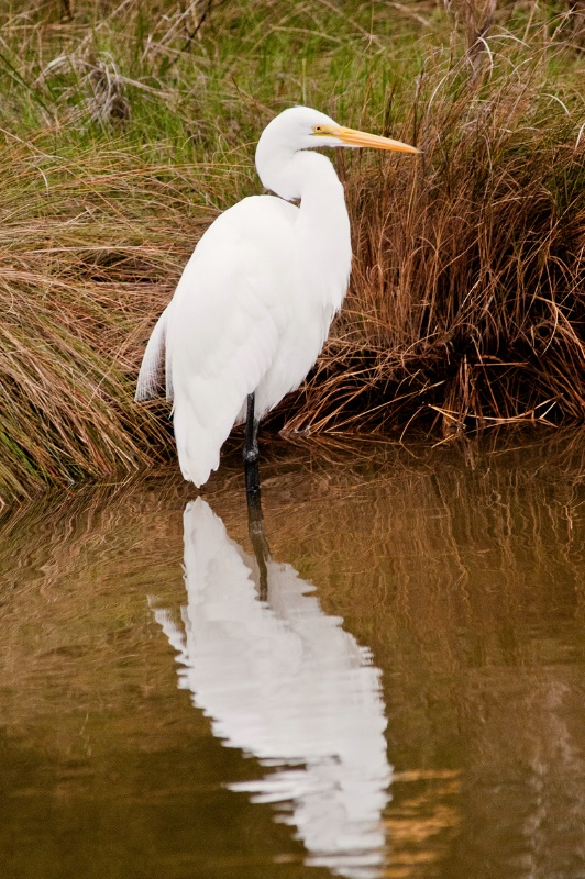 Egret in Chincoteague