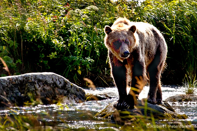 Mama grizzly looks for food