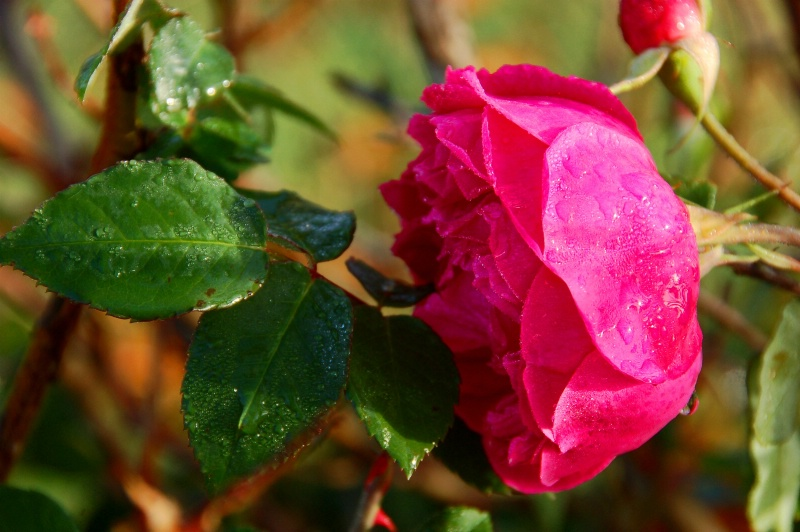 Texas Thanksgiving Rose