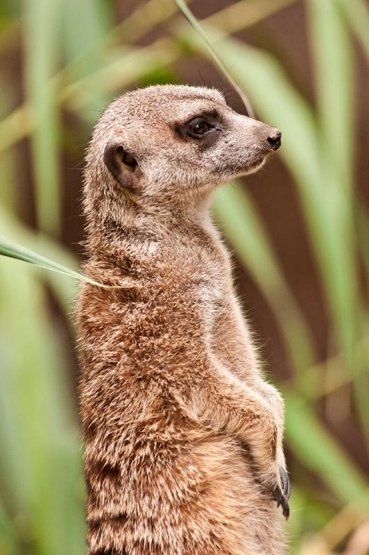 Memphis Meerkat Profile