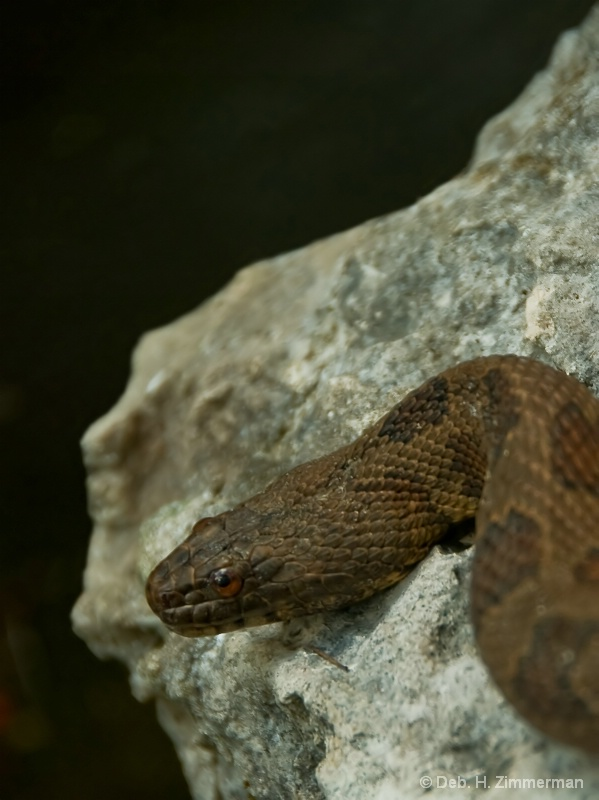 Close up of a Brown Watersnake