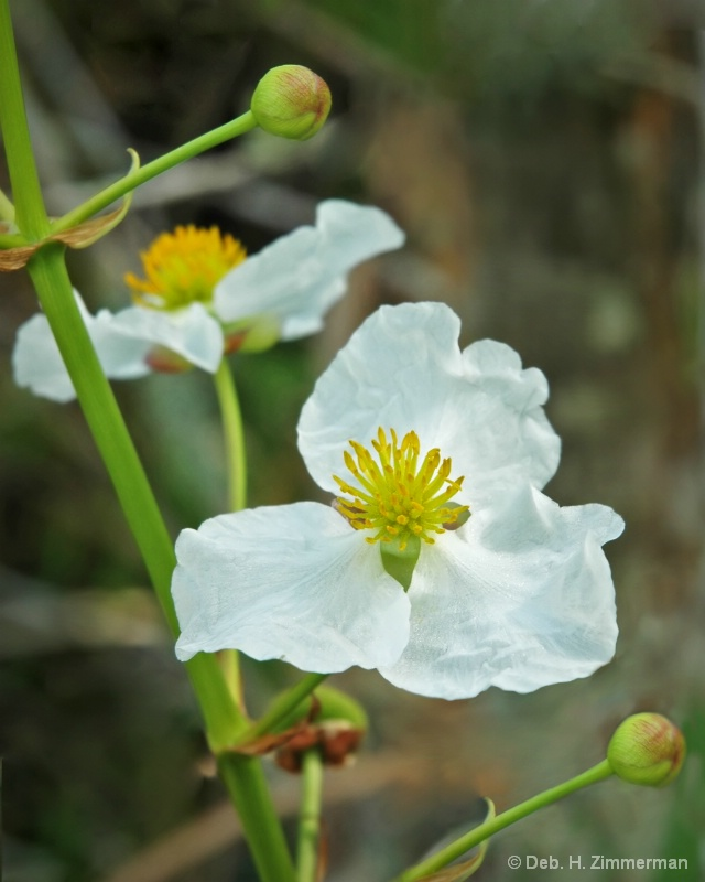 Loxahatchee wildflower-white