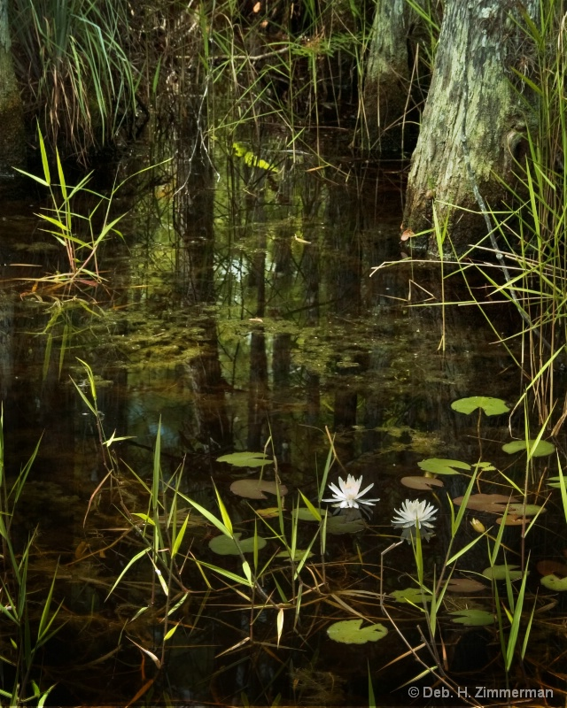 Water Lilies along the Loxahatchee River