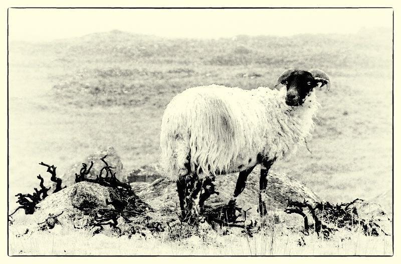 Retro Sheep