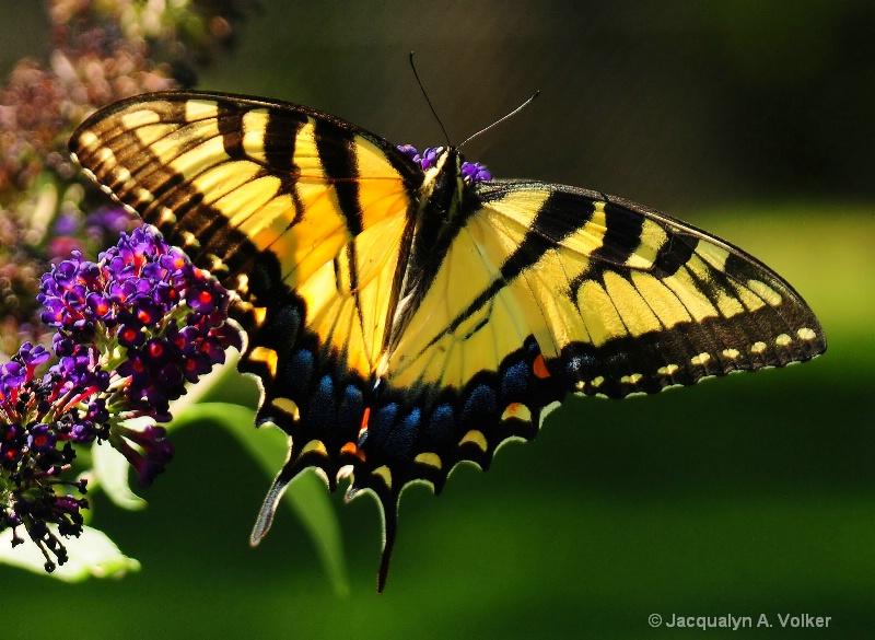 Summer Swallowtail
