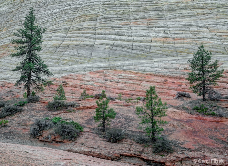Checkerboard Mesa Trees ~ Zion National Park