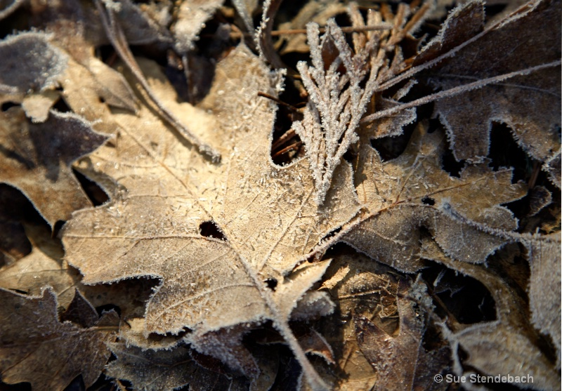 Hoar-Frosted Leaves