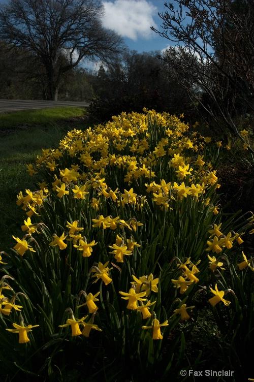 Daffodils with Oak Tree