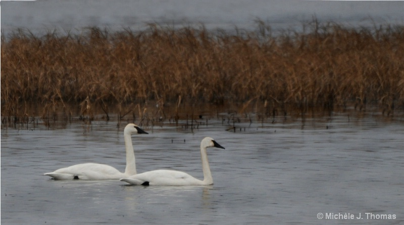 Two Swans A Swimming !