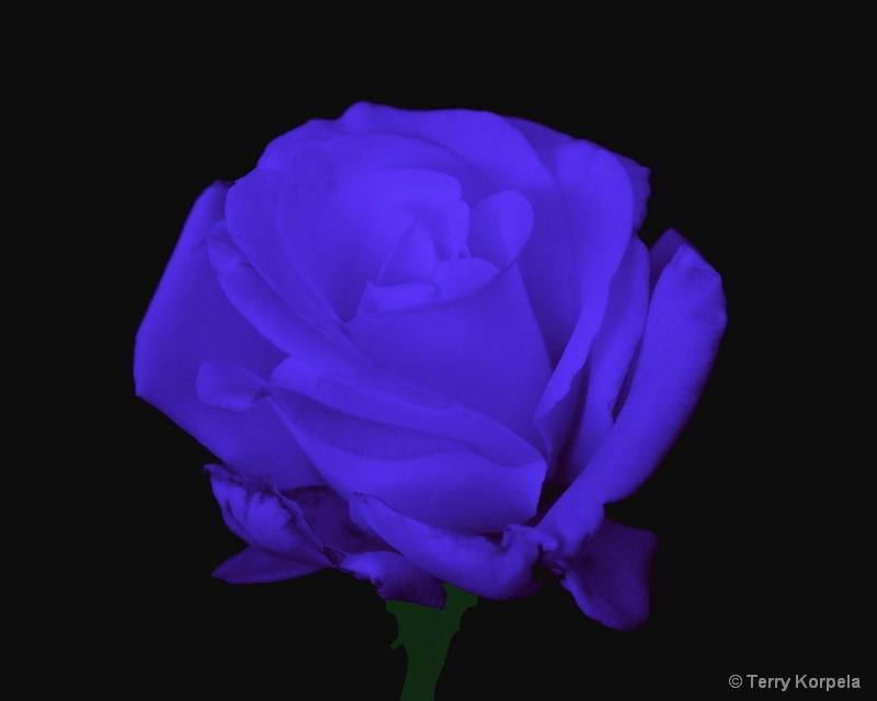 The elusive blue rose