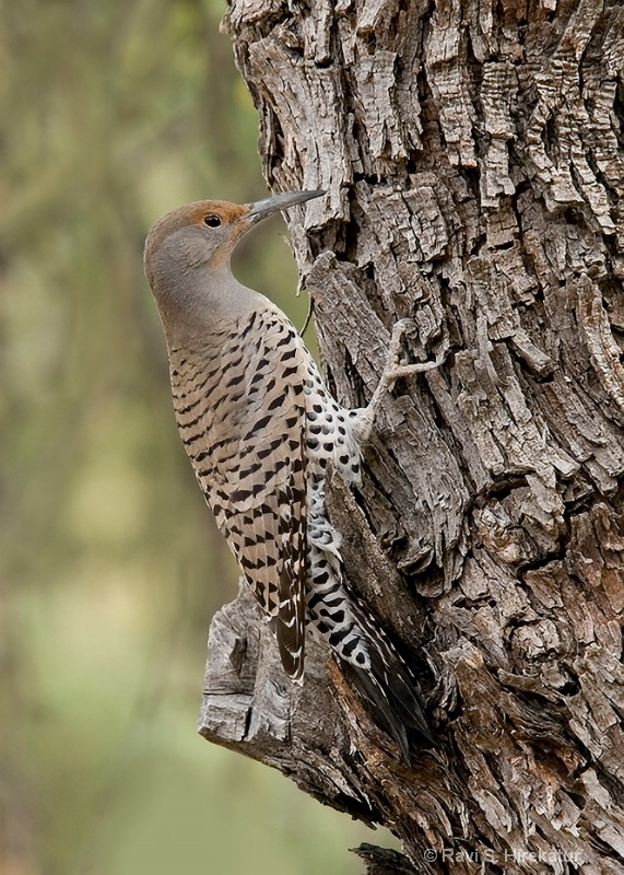 Gila Woodpecker, female