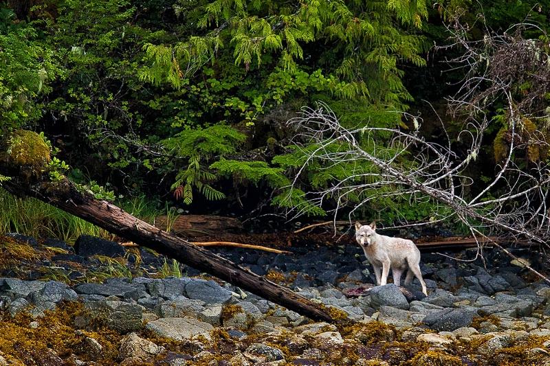 Wild Wolf of BC