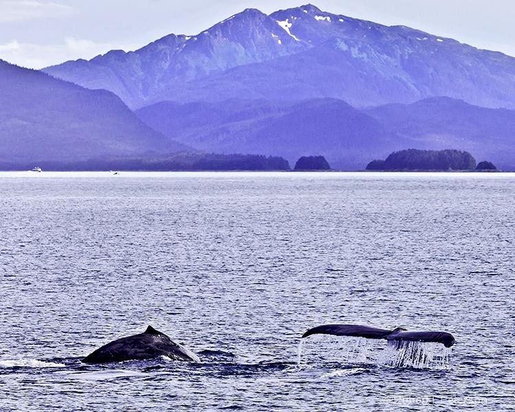 whale play, Juneau Alaska