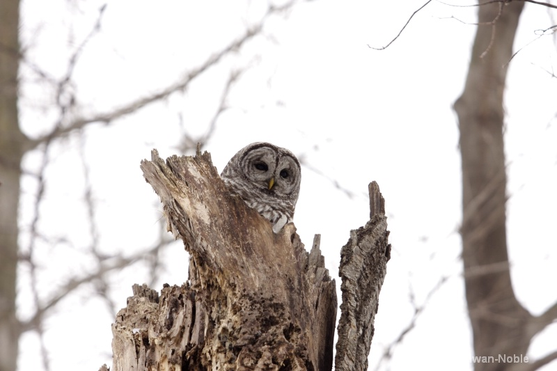 barred owl 120712 038