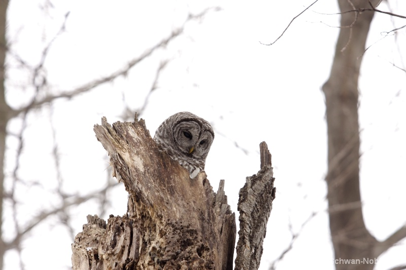 barred owl 120712 046